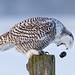 Cough it up buddy - Snowy Owl by Jim Cumming