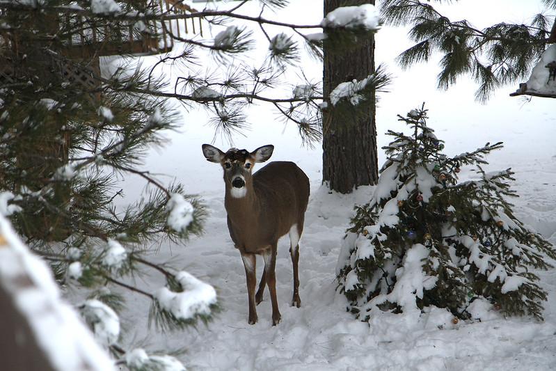 deer hello