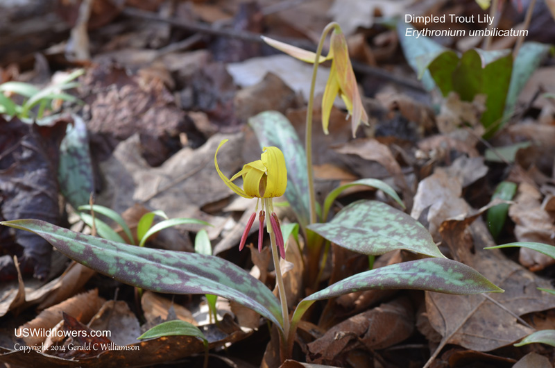 Dimpled Trout Lily, Dimpled Dogtooth Violet, Southern Appalachian Trout Lily - Erythronium umbilicatum