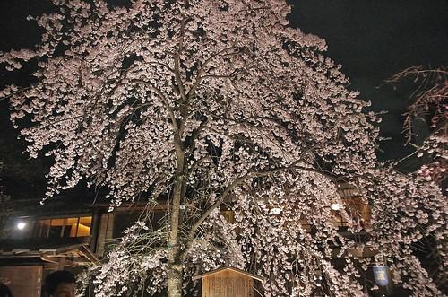 【写真】2014 桜 : 祇園白川/2020-09-13/IMGP5579
