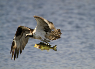 Osprey w large mouth Bass