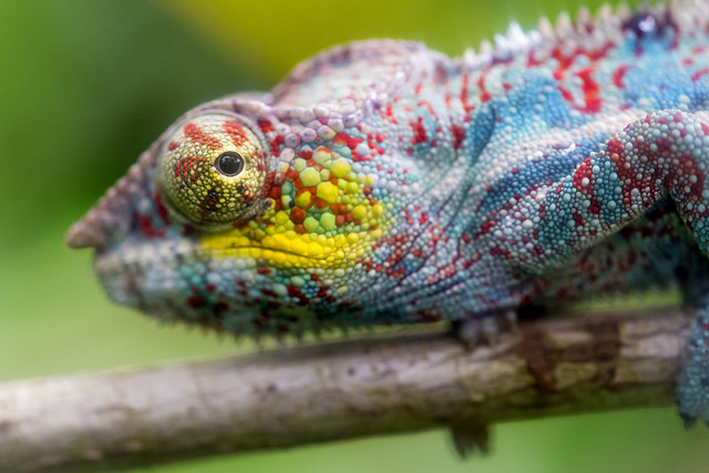 Colorful chameleon on the branch