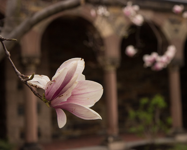 Magnolia Blossom at Lesley Divinity School