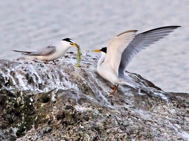 Least Tern female accepts fish from bonded male 13- 20140428