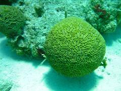 coral reef, coral, brain coral, organism, marine biology, cnidaria, underwater, reef,