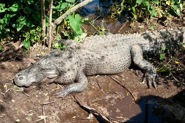 Gator11 (1 of 1)