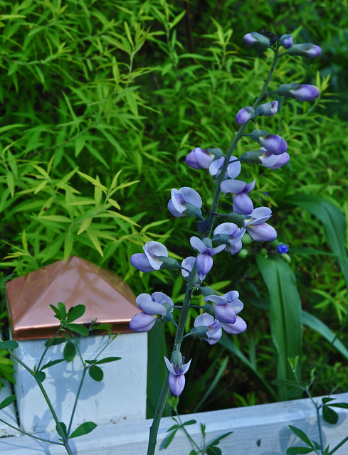 Baptisia 'Purple Smoke' (2)