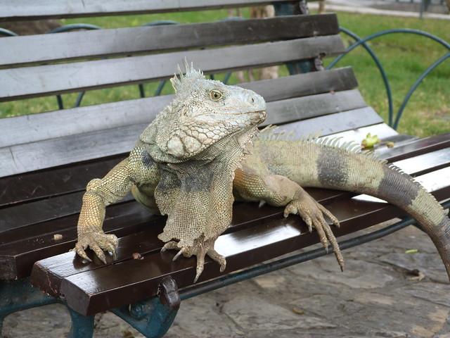 Iguana en el Parque de las Iguanas (Guayaquil, Ecuador)