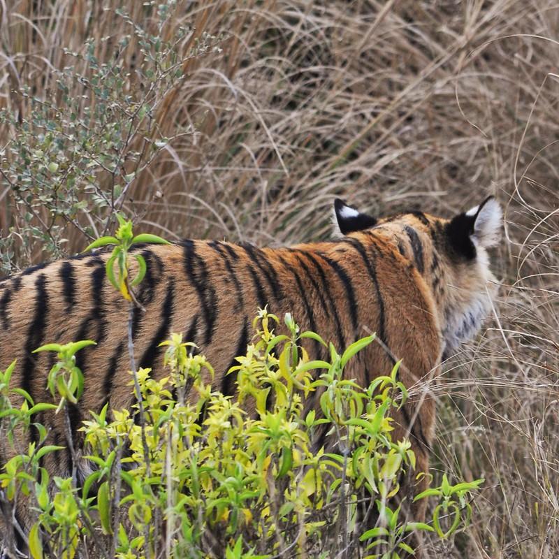 Tiger-Ohren_g