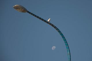 White Cockatoo & Moon