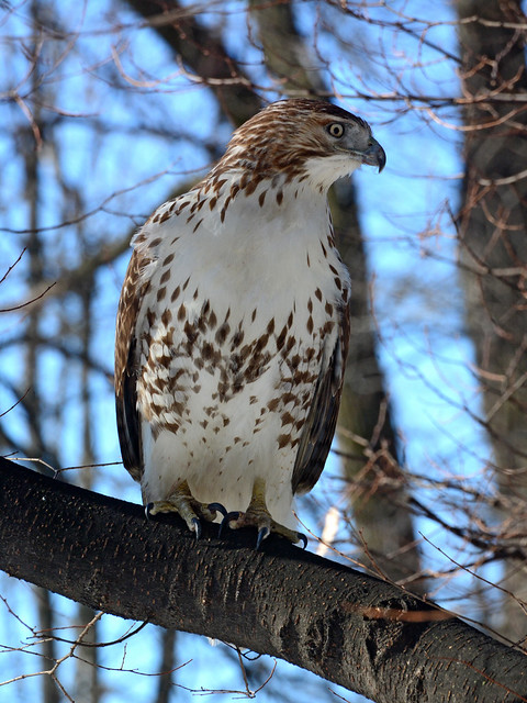 Riverside Red-Tail - 5160