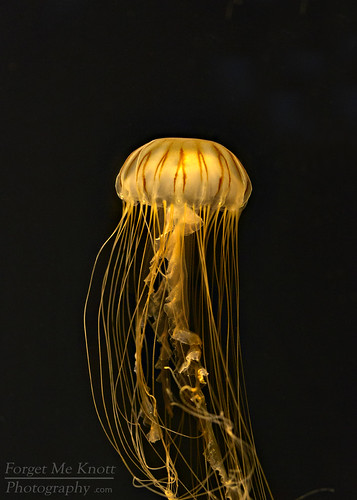 ocean light sea orange black water night dark aquarium jellyfish pacific sealife seanettle brianknott forgetmeknottphotography fmkphoto lbphotonite14