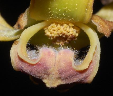 Mitrephora diversifolia DSC_0123