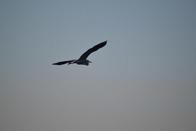 heron in flight II