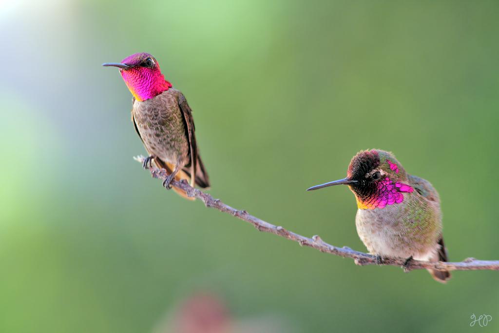 Anna's Hummingbird 190215