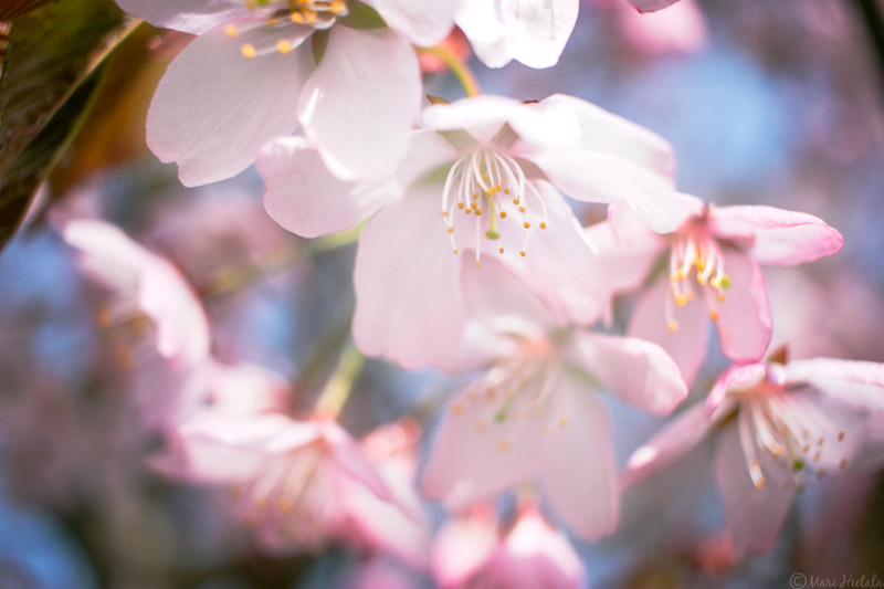 kirsikka1