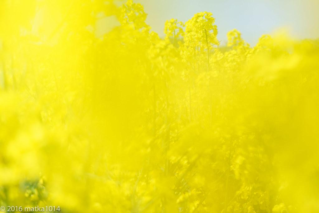菜の花(滝川)-4
