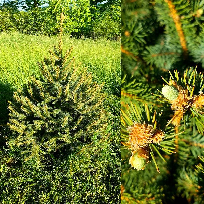 Out Christmas tree we planted survived Winter. Look at the new growth! 🌲🌲