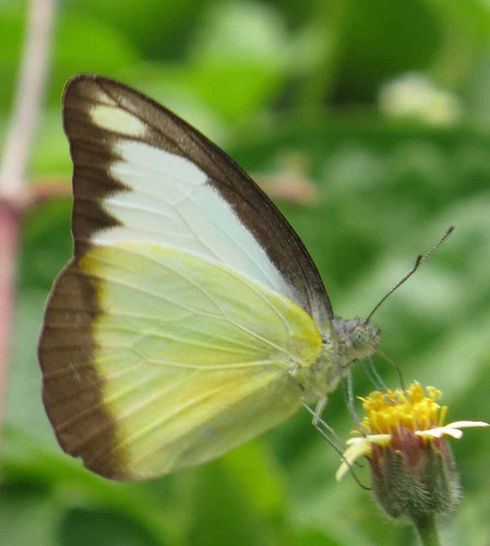 nepal butterfly pieridae richhoyer