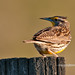 Western meadowlark by ~Doug~