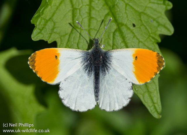 orange tip butterfly male Anthocharis cardamines-11