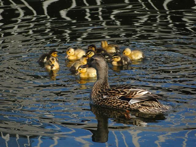 Mom and babies ducks