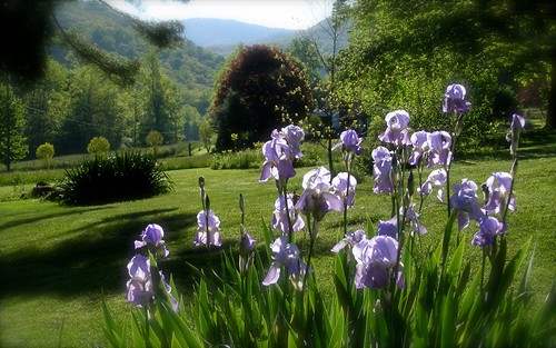 Garden Iris, Morning II
