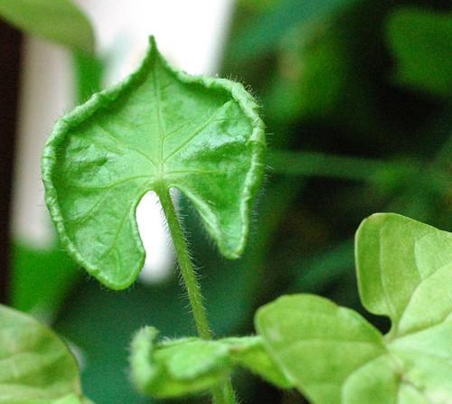 Ipomoea nil Q0962 leaf by Gerris2