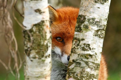 Red fox 'Frodo' hides behind the trees :)