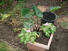 Alocasia & Morning Glory