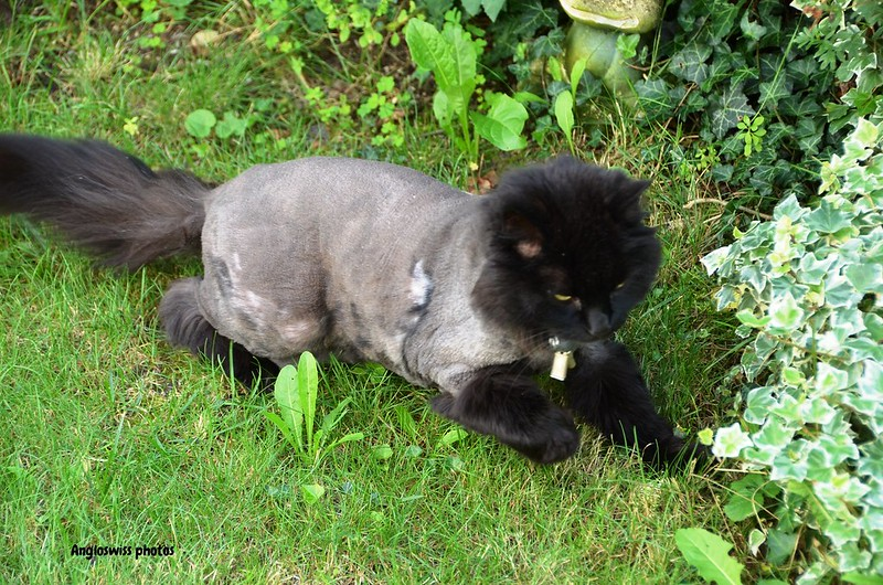 Nera the cat had a haircut