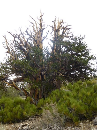 A gnarled ancient Bristlecone Pine.