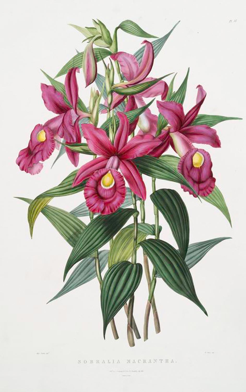 vintage, botany, phytology, botanical, botanic, vintage botanical illustration, vintage flower, orhid, white orhid, pink orhid, red orhid,