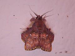 Pleasing Sosxetra Moth - Sosxetra grata - Family Noctuidae