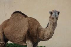 alpaca(0.0), art(0.0), animal(1.0), mammal(1.0), fauna(1.0), camel(1.0), arabian camel(1.0),