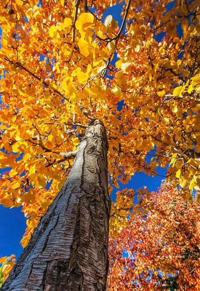 Autumn Pear Tree