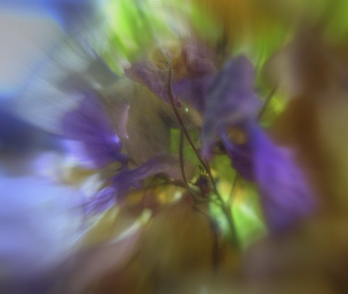 A noisy explose of hortensia  - L'explosion chahutée d'un hortensia - Explore - 10/11/2013 - rank 493