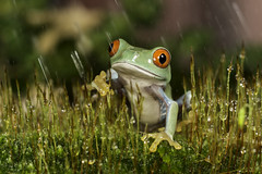 Red Eye Tree Frog loves Rain