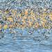 dunlin ( Calidris alpina) flock