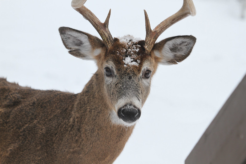 deer curious