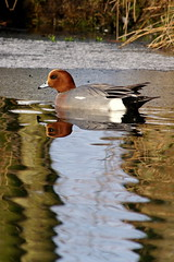 Wigeon Shapes