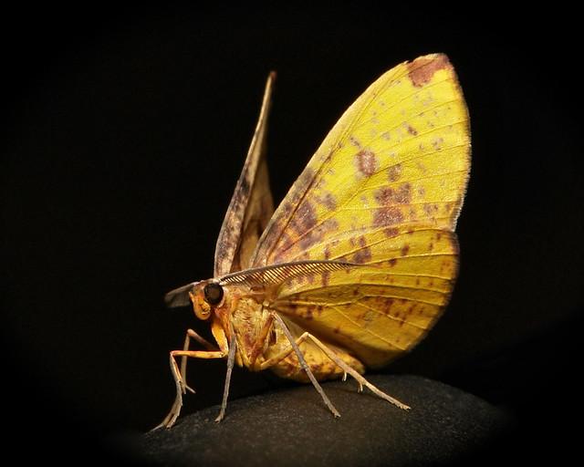 Geometrid Moth (Hypochrosis flavifusata, Ennominae, Geometridae)