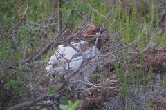 Willow Ptarmigan, 6/22/2013, Dalton Hwy., AK