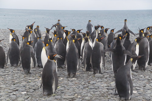 418 Koningspinguins