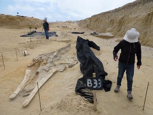 鯨魚化石。圖片作者:CSUF Photos,圖片來源:http://www.flickr.com/photos/csufnewsphotos/12797686503/,本圖符合CC授權使用。