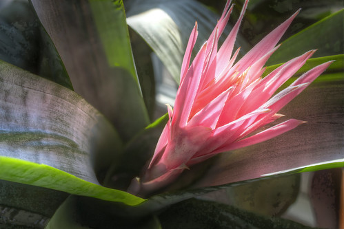 Bromeliad Flower from above