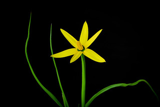Spiloxene canaliculata by 图鸦 (JiBai's Photograph)