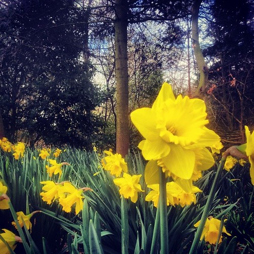 #Cheshire #spring #daffodils #botany #flowers