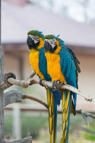 Blue-and-Yellow Macaws I