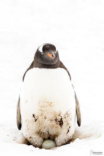 pingüino juanito